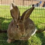 6mo Agouti Continental Giant Doe Rabbit