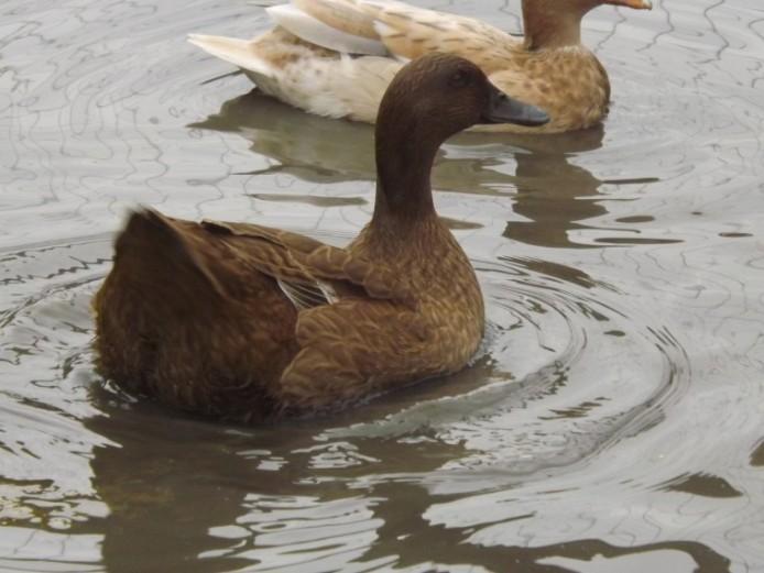 Kharki Campbell Ducks