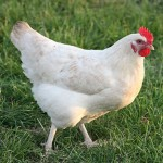 Lovely Selection Of Coloured Hybrid Chickens / Pul