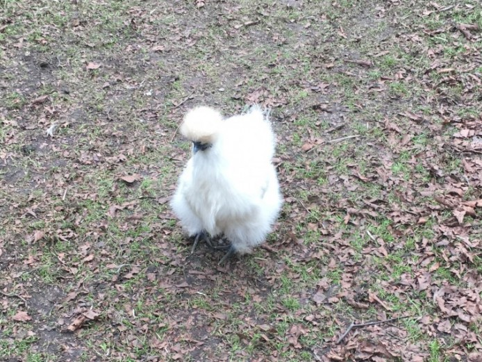 Silkie Pullets