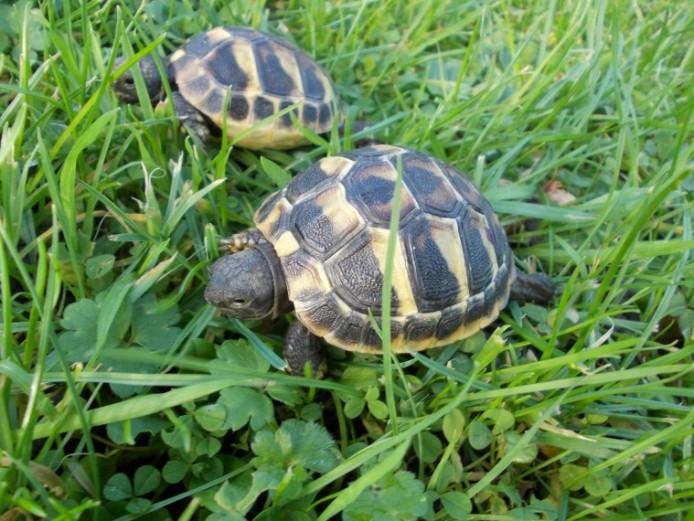 Hermann\s Tortoise
