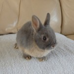 Blue Otter Netherland Dwarf Doe For Sale