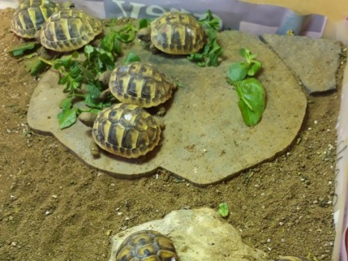 3 Pairs Of Lively Hermann Tortoise Babies