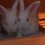Mixed Mini Rex And Netherland Dwarf Babies