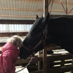 Percheron Gelding And A Stallion