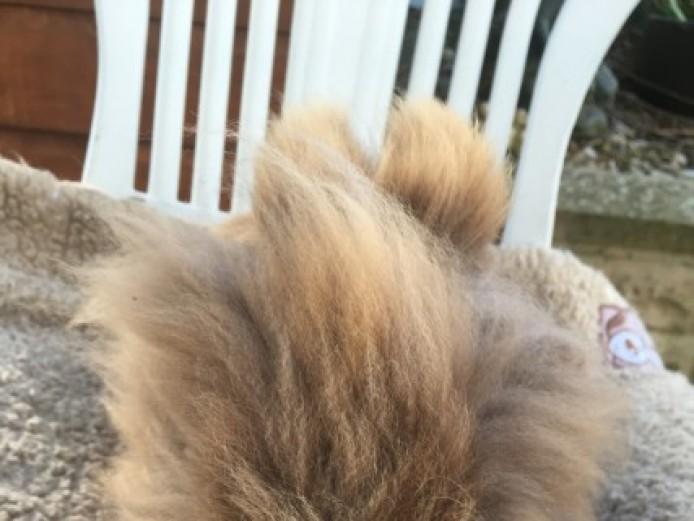 Stunning Lionhead Doe