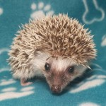 For Sale - African Pygmy Hoglet (male Chocolate)