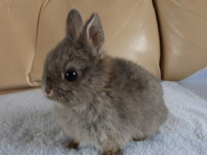 Chocolate Fawn Netherland Dwarf Buck For Sale
