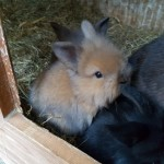 Fabulous Mini Lop X Lionlop Kits.