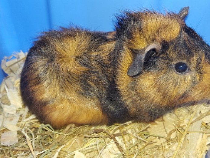 Stunning Baby Male Guinea Pigs