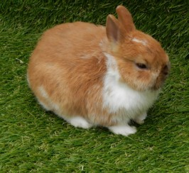 Orange Shade Netherland Dwarf Kits Ready Now