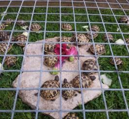 Home Bred Hermanns Tortoises Ready For New Homes
