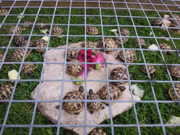 Home Bred Hermanns Tortoises Ready For New Homes