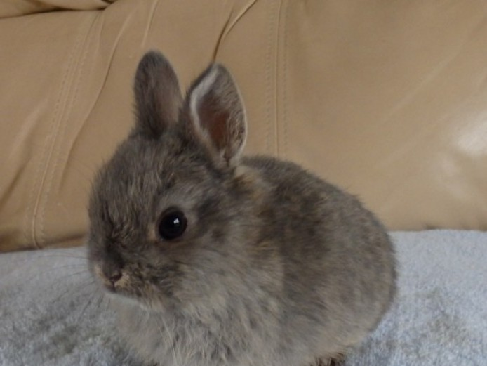 Chocolate Fawn Netherland Dwarf Doe For Sale