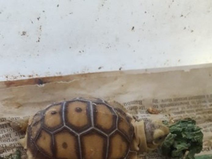 Baby Sulcata Tortoises Forsale In Tendring Essex