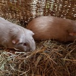 Bonded Pair Of Two Boy Brother Guinea Pigs