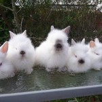 Baby Lionhead Rabbits Ready Now