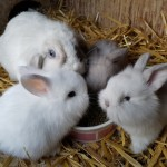 Beautiful, Friendly Mini Lop X Lionlop Kits