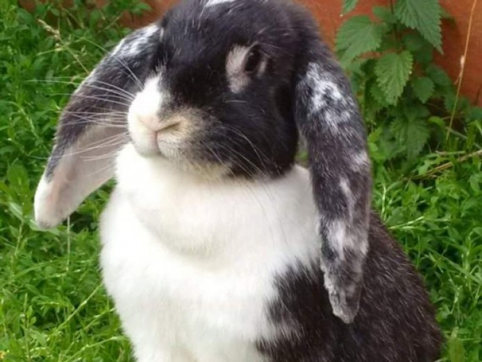 Female French Lop