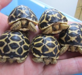 Indian Star Hatchlings Cb17