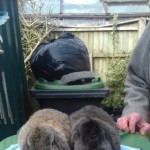 Rabbits For Pet Or Show