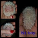 Baby Male Pygmy Hedgehog. Ready In Few Weeks