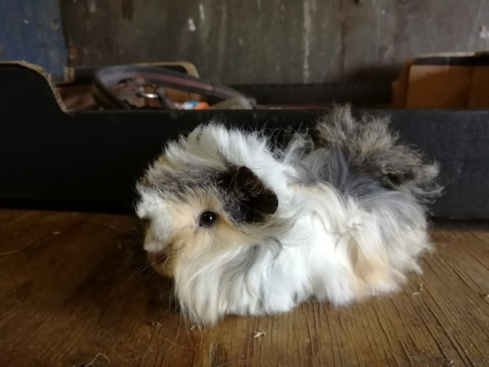 Baby Funky Guinea Pigs
