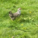 Speckled Hens For Sale