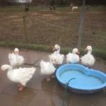 Sebastopol Geese For Sale