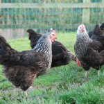 Silver Sussex Hens For Sale South Birmingham