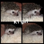 Baby Female Pygmy Hedeghog. Ready Now