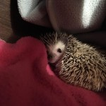 Twiglet The Hedgehog Aph