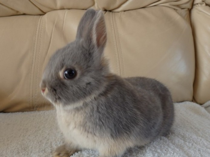 Blue Otter Netherland Dwarf Buck For Sale