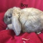 Baby Lionhead Cross Minilop Rabbits