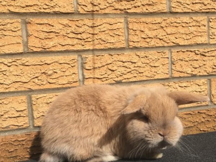 Adorable Fawn Mini Lop Buck