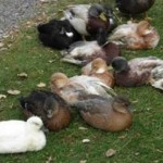 Pr Of Call Ducks For Sale