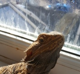 Male Bearded Dragon For Adoption