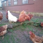 Point Of Lay Lohmann Brown Hybrid Chickens For Sal