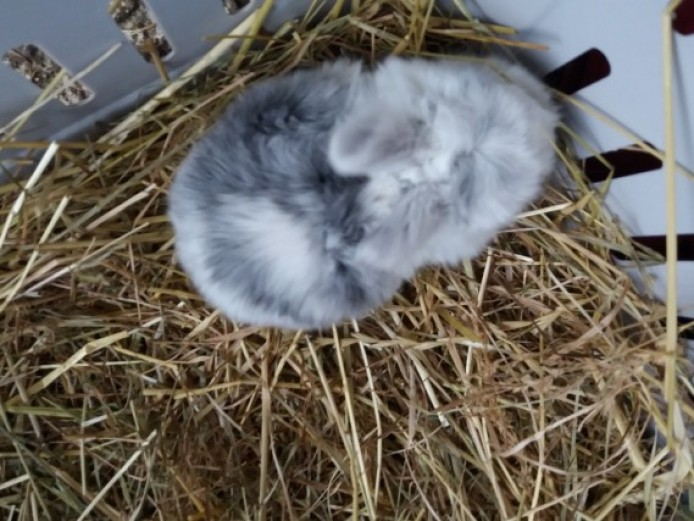 Child Friendly Mini Lop Baby Bunnies Rabbits