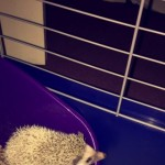 Pygma Hedgehog, 5months Old, Female