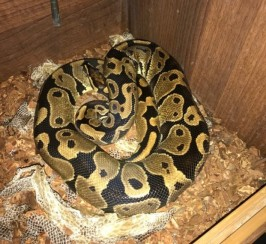 Royal Python For Sale With Setup