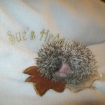 Baby Pygmy Hoglets In The Nest- Ready To Reserve