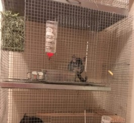 2 Stunning Chinchillas For Sale!!