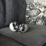 Baby Rabbits For Sale (ready End Apr)