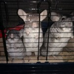 Chinchilla Pair, Good Parents & Free Cage & Aviary
