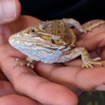 Juvenile, Healthy Male Beardie For Sale