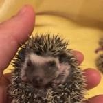 African Pygmy Hedgehogs Boys/girls