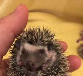 African Pygmy Hedgehogs Boys/girls