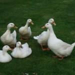 16 Week Old Aylesbury Ducks