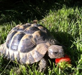 Uk Bred Male Hermann Tortoise